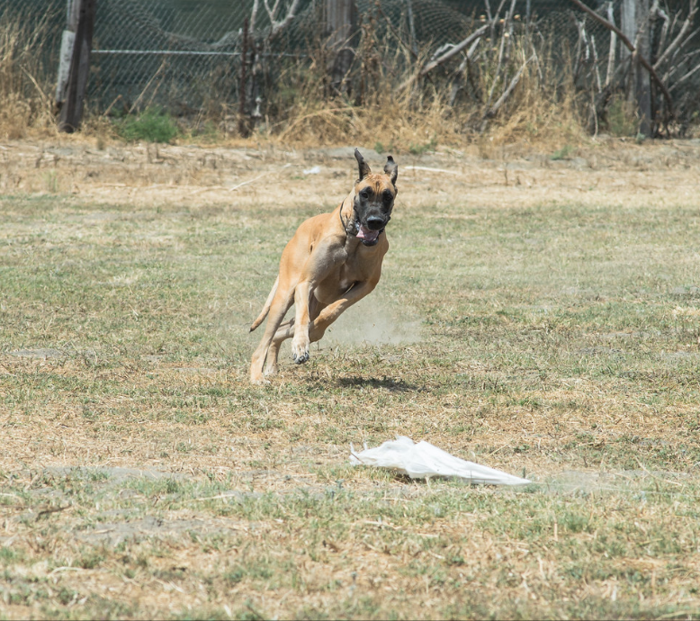 Blondie Lure Coursing